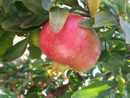 La Granada, fruta con grandes poderes antioxidantes